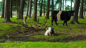 White and brown calf cow with black and white cow Stock Photography