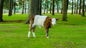 White and brown calf cow Royalty Free Stock Photos