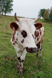 White-brown calf standing on meadow. White-horned brown calf standing on the green meadow Royalty Free Stock Image