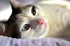 White Brown Cat Big Blue Eyes. White and brown domestic cat with big blue eyes laying on the bed in the sunny afternoon. Shallow depth of field royalty free stock photography