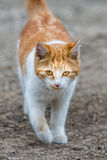 White and brown cat coming to you Royalty Free Stock Image