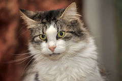 White with brown cat royalty free stock photo