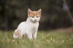 White and Brown Cat on Green Grass Field royalty free stock photos