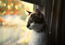 White and Brown Cat. An image of a white and brown cat staring ever so intently out a window Stock Images