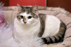 White and brown cat Royalty Free Stock Photos