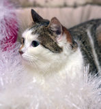 White and brown cat Royalty Free Stock Photography