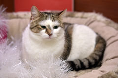 White and brown cat Royalty Free Stock Images