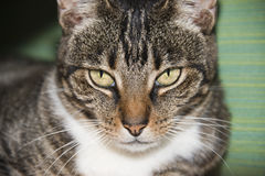 White and brown cat looking at you Royalty Free Stock Photo