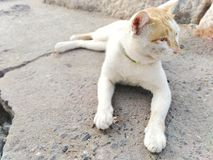 White-brown cat Lying on the floor by the sea royalty free stock photography