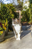 White and brown cat sitting on doorstep of the house Royalty Free Stock Image