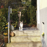 White and brown cat sitting on doorstep of the house Royalty Free Stock Photo
