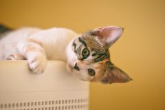 White and Brown Cat on White Surface Stock Photography