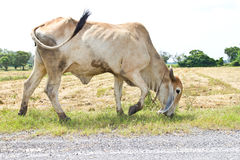 White brown cattle grazing Stock Image