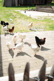 Hens in farm yard. White and brown chicken in a farmyard Royalty Free Stock Photography