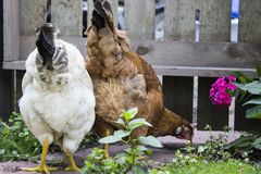 White and Brown Chickens Eating Bugs in Garden Setting with Wooden Fence in Background. A flock of two chickens, one red and one white, forage for food in a stock photo