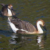White and Brown Chinese Goose (Anser cygnoides) Royalty Free Stock Photography