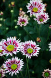 White and brown Chrysanthemum Royalty Free Stock Images