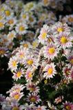 White and brown Chrysanthemum Stock Image