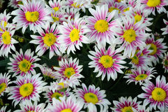 White and brown Chrysanthemum Royalty Free Stock Photo