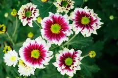 White and brown Chrysanthemum Royalty Free Stock Photos