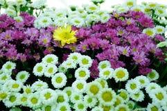 White and brown Chrysanthemum Royalty Free Stock Image