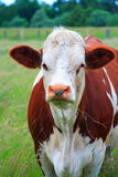 White and brown cow Royalty Free Stock Images