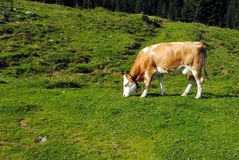 White and brown cow Stock Image