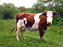 White-brown cow Royalty Free Stock Photo