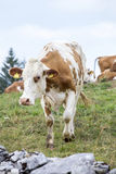 White and brown cow approaching Stock Image