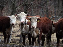 White - brown cow