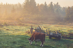 White and Brown Cow Eating Grasses Under White Sky Royalty Free Stock Image