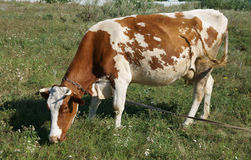 White and brown cow grazing in a meadow on a summer day Stock Image