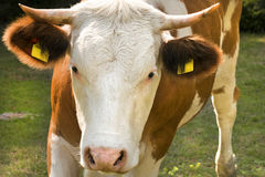White and Brown Cow on a Green Field Royalty Free Stock Images