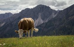 White and Brown Cow Nearby Mountains stock images