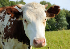 White and brown cow on a pasture Stock Image