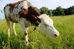 White and brown cow on a pasture Royalty Free Stock Images