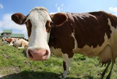 White and brown cow stock photos
