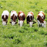 White and brown cows Royalty Free Stock Photos