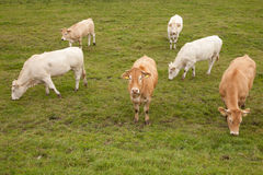 White and brown cows in dutch meadow Royalty Free Stock Images
