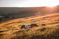 White and Brown Cows Eating Grasses on Grass Field during Daytime Royalty Free Stock Photo