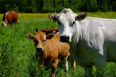 White and brown cows in field in Quebec Royalty Free Stock Photo
