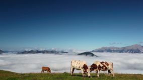 White and brown cows on the mountain stock footage