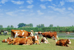 White and brown cows on pasture Royalty Free Stock Image