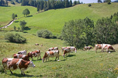 White and brown cows in a valley, Vercors Stock Photos