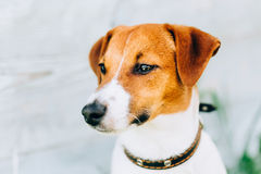 White And Brown Dog Jack Russell Terrier. Toned Instant Photo Royalty Free Stock Image