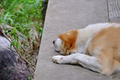White brown dog sleeping on cement ground floor of a walkway in outdoor place royalty free stock photo