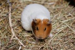 White-brown domestic guinea pig Cavia porcellus cavy. Close-up of white-brown domestic guinea pig Cavia porcellus cavy Royalty Free Stock Photo