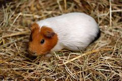 White-brown domestic guinea pig Cavia porcellus cavy on the st. Close-up of white-brown domestic guinea pig Cavia porcellus cavy on the straw. Photography of Royalty Free Stock Images