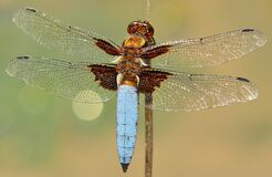 White and Brown Dragonfly on Stick Stock Images
