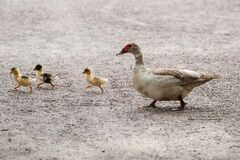 White and Brown Duck With Yellow and Black Ducklings Walking in Gray Floor during Daytime Royalty Free Stock Photo